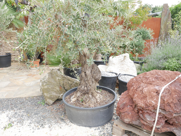 Olivenbaum Stammhöhe ca. 70 cm, Höhe ca. 200 cm
