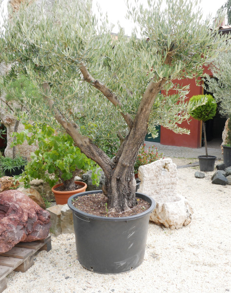 Olivenbaum, Stammhöhe ca. 60 cm, Gesamthöhe ca. 170 cm