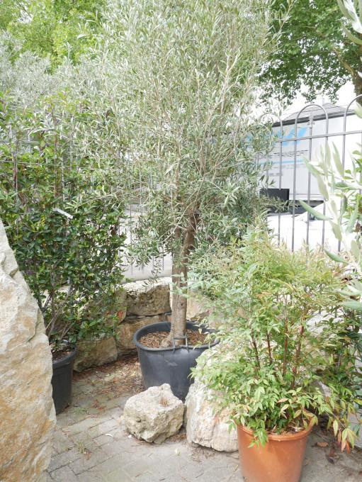 Olivenbaum Stammhöhe ca.110 cm, Höhe 250 cm